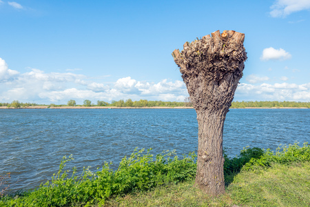 pollard: Newly pollarded willow on the banks of a Dutch river. It is a cold but sunny day at the beginning of the spring season. Stock Photo