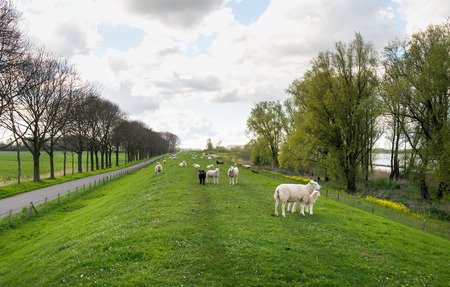 seemingly: Backlit image of a seemingly endless long embankment in the spring season. In the foreground are some sheep with their woolly lambs. The rapeseed is blooming yellow already.