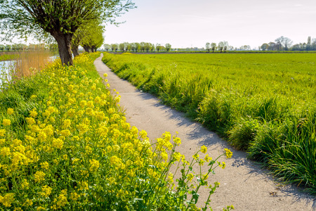 pollard willows: Backlit image of a narrow meandering concrete bicycle path along a river. Its a sunny day in the spring season and the yellow rapeseed flowers in abundance.