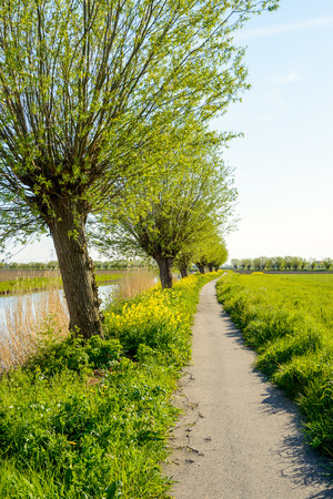 pollard: Backlit image of a narrow meandering concrete bicycle path along a river. Its a sunny day in the spring season and the yellow rapeseed flowers in abundance.