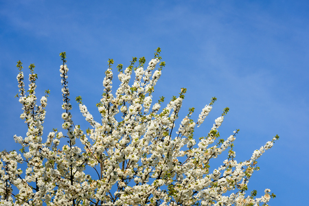 gean: Closeup of the twigs and branches of a pure white flowering sweet cherry or Prunus avium plena tree against a bright blue sky on a sunny day in the spring season.