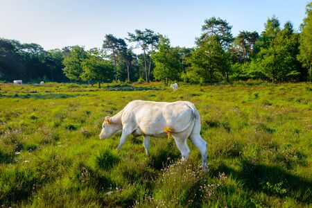 wagging: White cow grazing and wagging its tail in a nature area with moorland and woods in low sunlight early in the morning. Stock Photo