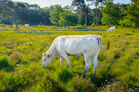 wagging: White cow grazing and wagging its tail in a Dutch nature area with moorland and woods in low sunlight early in the morning.