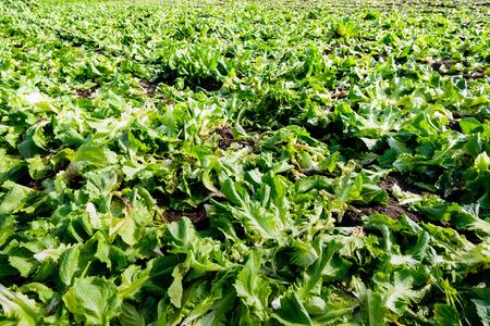 escarola: Despu�s de cortar las plantas maduras de endibia durante la cosecha, estos vestigios son todav�a permanecen en el campo.