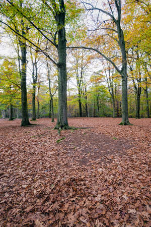 forefront: Russet colored oak leaves fallen on the forefront of oak trees. Now it really is autumn in the woods.