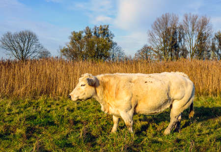 yellowed: Cream-colored cow from close in the late afternoon sunlight in the foreground of a rural area. In the background is a yellowed frin