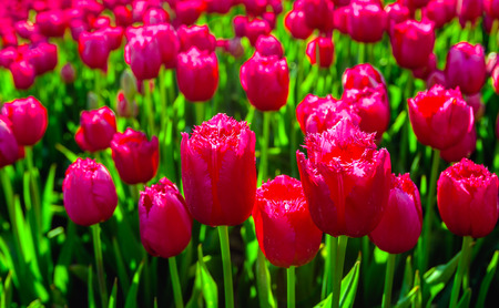 grower: Closeup of bright red parrot tulips in early morning sunlight in the field of specialized Dutch tulip grower. Its really spring now.