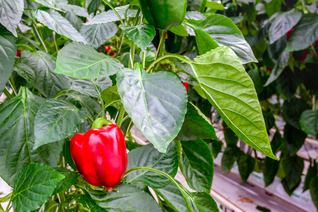 grower: Bright red pepper ripening on a plant in a large glasshouse of a specialized Dutch grower on a sunny day in the spring season Stock Photo