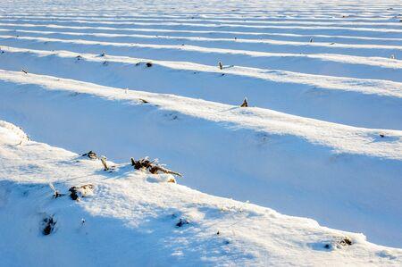Grote Nederlandse gebied van asperges bedden bedekt met een dikke deken van sneeuw op een zonnige dag in het winterseizoen. Stockfoto - 58075619
