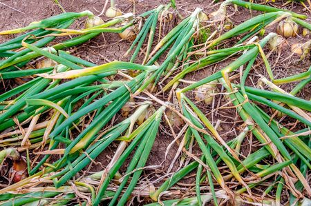 organically: Closeup of organically grown onions in soil waiting for the harvest in the Netherlands