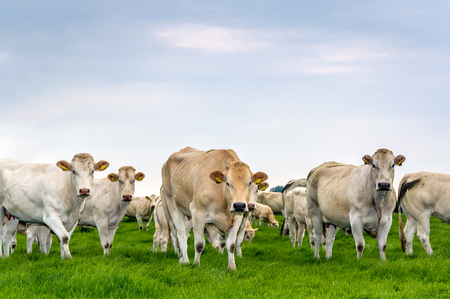 Beige and white cows standing in fresh green grassland and looking curiously at the photographer. It's a slightly overcast day in the summer season. Stock Photo