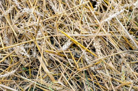 residual: Closeup of residual straw at the field after processing of the grain by the combine.