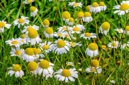 german chamomile: Close-up of yellow and white blossoming German chamomile in a blurred natural background. It is a sunny day in the summer season. Stock Photo