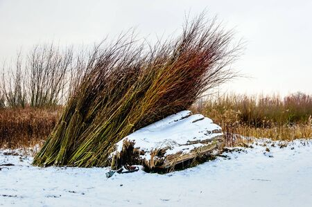 bunched: Bundles of cut osiers in a Dutch natural landscape covered with a layer of snow. It is winter now.