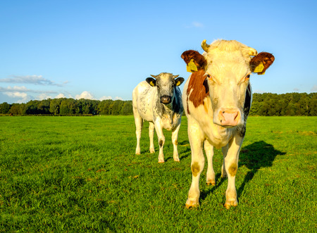 curiously: Two cows curiously staring to the photographer on a sunny morning in the summer season. Stock Photo