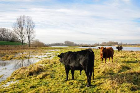 Schilderachtig beeld van zwarte en roodbruine Galloway stieren in een gedeeltelijk overstroomd gebied. Het is een zonnige dag in het begin van het winterseizoen. Een dunne laag ijs staat op het water. Stockfoto - 58847841