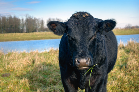 closeup cow face: Portrait of an impressive black Galloway bull with a hairy body standing on the bank of a Dutch river. It is a sunny day in the winter season.