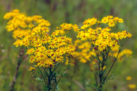 senecio: Closeup of yellow blooming tansy ragwort or Jacobaea vulgaris wild flowers in their own habitat. It is a sunny day in the summer season. Stock Photo