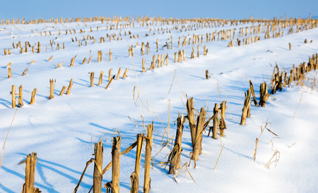 harvested: Closeup of harvested fodder maize in a sunny and snowy Dutch landscape. Stock Photo