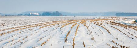 meandering: View at the meandering lines of harvested fodder maize in a snowy and hazy Dutch landscape.