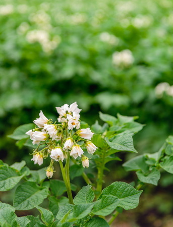 hairy closeup: Closeup of a large Dutch field with organic cultivated potatoes. Its spring and white and yellow flowers are on the hairy stems of the plants.