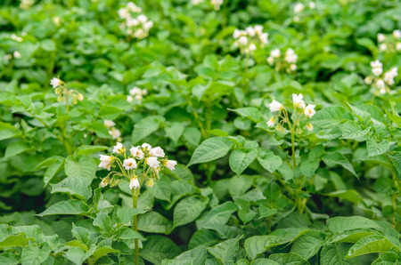 Closeup of a large Dutch field with organic cultivated potatoes. Its spring and white and yellow flowers are on the hairy stems of the plants.