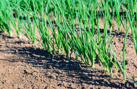 horticulturist: Close up of rows of sown onions plants growing in the clay soil of a Dutch horticulturist. Its a sunny day in the summer season. Stock Photo