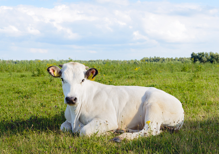 polder: White rumnating cow lazily lying alone in the grass of a meadow in a Dutch polder. Its a sunny day in the summer season.