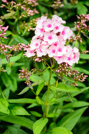 the stamens: Closeup of pink-hearted white blossoming Phlox plants with a small yellow pistil and stamens.