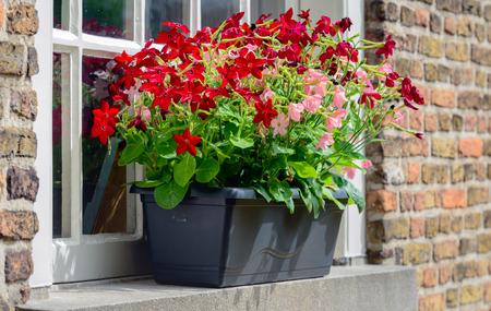 petunias: Pink and red blooming petunia plants in a dark gray flowerbox.