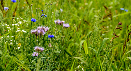 ecologic: Ecologic field edge in the Netherlands from close with wild plants and flowers such as cornflowers, grasses and lacy phacelia. Stock Photo