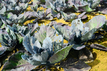 organically: Closeup of  organically grown red cabbage plants on a sunny day in summertime. The leaves have many holes and other feeding damage caused by caterpillars.
