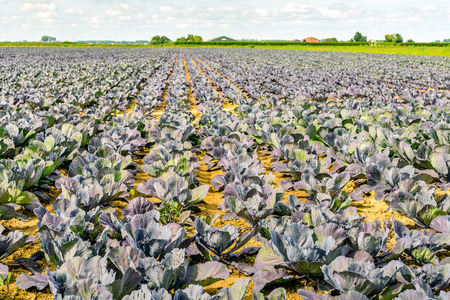 brassicae: Endless rows with   organically grown red cabbage plants on a sunny day in summertime. Weeds are growing between the cabbage plants and the leaves have feeding damage caused by caterpillars.