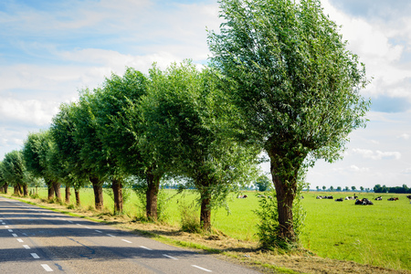 Row of pollard willows on the side of a country road. Its a sunny day in the summer season. Ruminating cows are lying in the meadow. Stock Photo