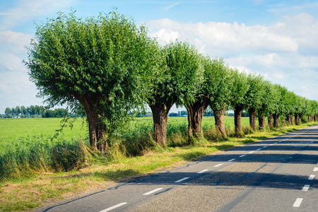 Row of pollard willows on the side of a country road. Its a sunny day in the summer season.
