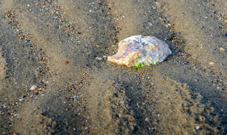 Closeup of a washed oyster shell with colorful pastel shades in the sand of the North Sea beach in the Netherlands.