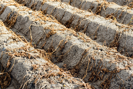 ridges: Potato ridges of clay soil with dead and dried potato tops from close just before the potato harvest at a potato field in a Dutch polder.