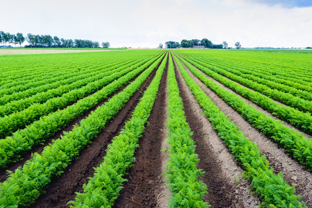 seemingly: Backlit image of seemingly endless rows of almost fluorescent bright green carrot plants in a Dutch field shortly after the rain.