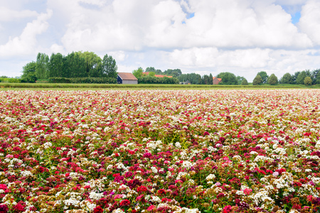 grower: Large field with blossoming sweet william plants in a wide variety of colors at a specialized Dutch seed grower. It is a cloudy day in the mid summer season.