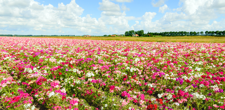 grower: Large field with blossoming Phlox plants in a wide variety of colors at a specialized Dutch seed grower. It is a cloudy day in the mid summer season. Stock Photo