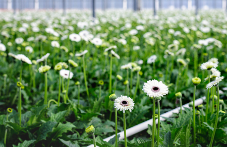 flower nursery: Closeup of white blooming Gerbera plants with dark hearts in a specialized Dutch flower nursery