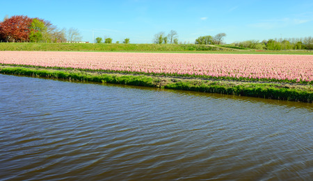 grower: Pretty pink blooming Hyacinth plants in the large field of a specialized Dutch grower. In the foreground is a canal. Stock Photo