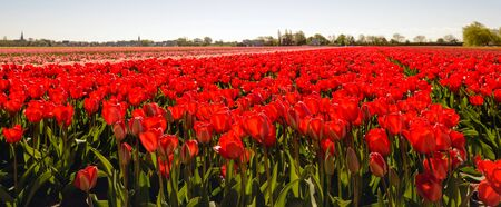 bulb tulip: Backlit image of nearly translucent red colored tulip flowers at the field of a specialized bulb grower in the Netherlands. It is springtime now.