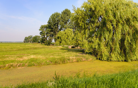 polder: Polder landscape in the Netherlands with a huge weeping willow and a duckweed-covered ditch in the foreground. Its a sunny day in the summer season. Stock Photo