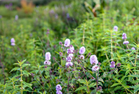 herbaceous: Closeup of lilac and purple blooming Water Mint or Mentha aquatica plants in their own natural habitat.