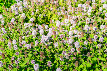 aquatic herb: Closeup of a large field full of lilac and purple blooming Water Mint or Mentha aquatica plants in their own wet natural habitat.