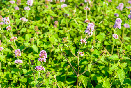 swampy: Closeup of lilac and purple blooming and fresh smelling Water Mint or Mentha aquatica plants in their own wet natural habitat. Stock Photo