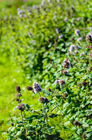 Closeup of lilac and purple blooming Water Mint or Mentha aquatica plants in the foreground of their own marshy natural habitat.