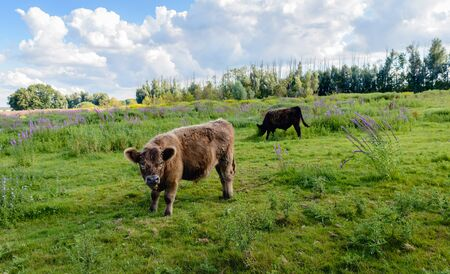 Brown Galloway bull in the foreground watches the photographer while another bull  grazes quietly in a Dutch nature reserve with colorful wildflowers. It is summer now. Stock Photo