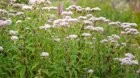 Budding and sweetly scented pink flowering Valerian plants in their own natural habitat in a Dutch nature reserve in the summer season. Stock Photo
